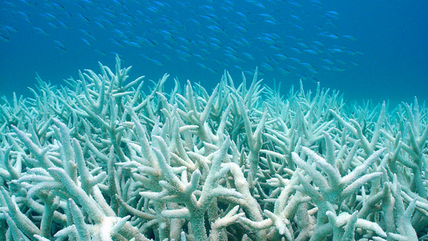 Warming ocean surface temperatures brought on by climate change prompt coral bleaching events and alter ocean chemistry via Duke University