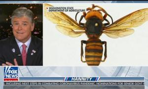 "Sean Hannity hosts his show with a split screen showing a ""murder hornet"" photo from the Washington State department of agriculture"