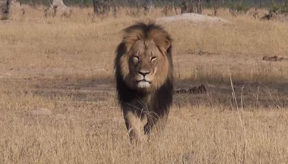 cecil-lion.jpg